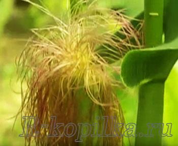 Травы для печени и желчного пузыря