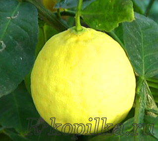 Как сохранить лимоны