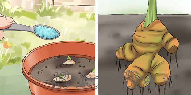 Имбирь выращивание в домашних условиях