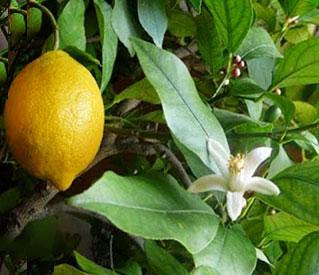 Лимонное дерево уход в домашних условиях