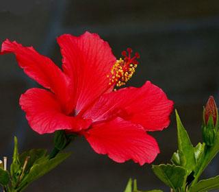 как ухаживать за китайской розой