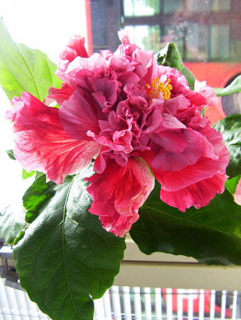 китайская роза уход в домашних условиях