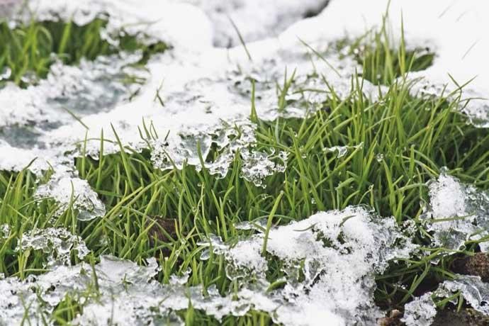 газонная трава весной