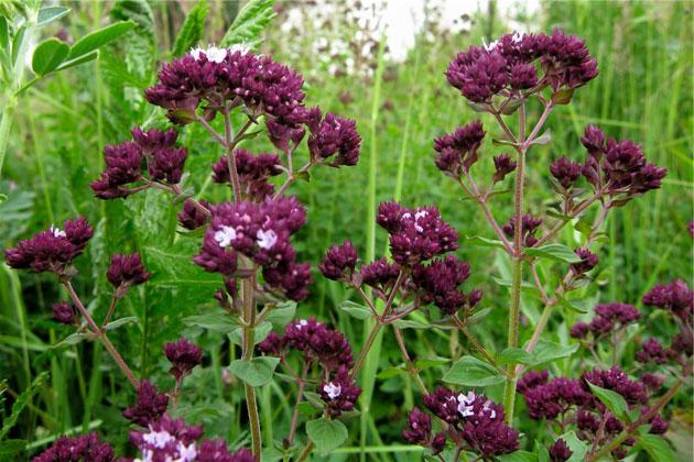 трава душица полезные свойства применение