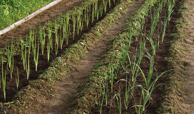как правильно посадить лук батун весной