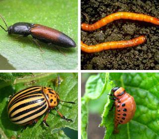средство от проволочника и колорадского жука при посадке картофеля