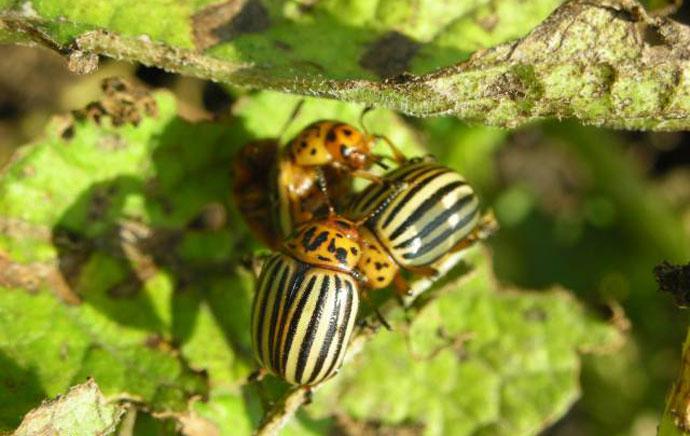 как избавиться от колорадского жука в огороде