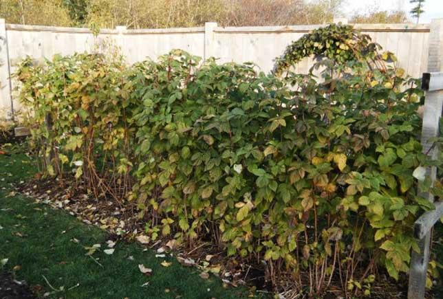 Где лучше посадить малину на участке дачи: в тени или на солнце