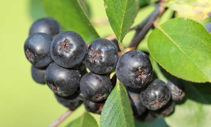 как хранить черную рябину свежей