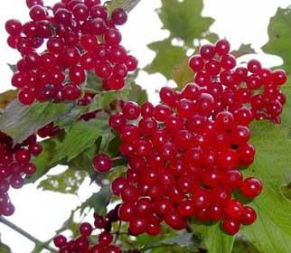 ягоды красной калины
