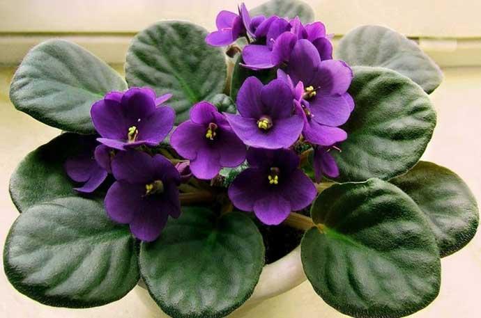 марганцовка для орхидей и фиалок