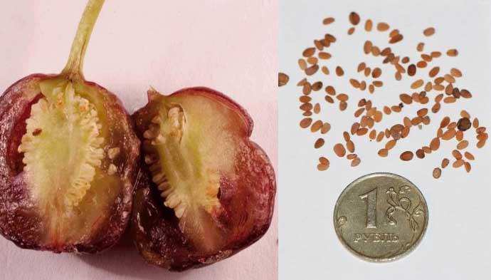 как выглядят семена фуксии: фото