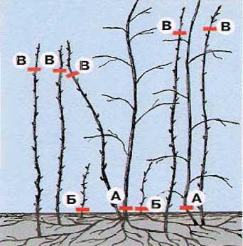 Обрезка малины весной: схема сроки