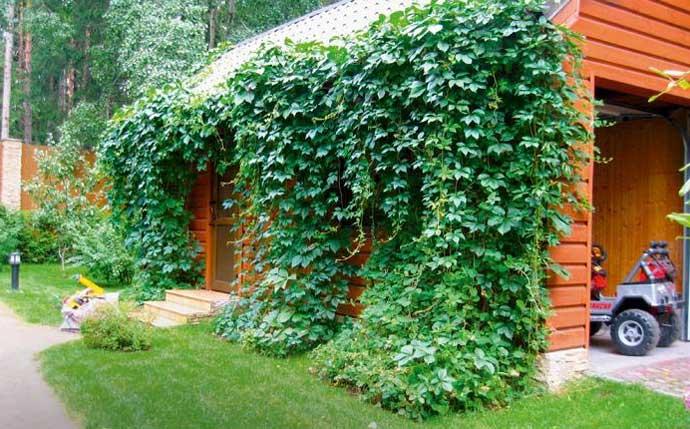 растения для вертикального озеленения на даче