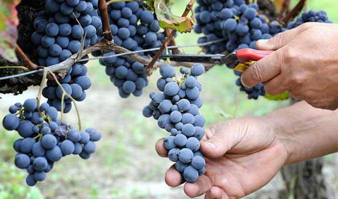 как сделать дома своими руками масло виноградной косточки
