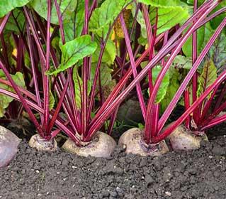 как сажать свеклу семенами в открытом грунте, чтобы не прореживать