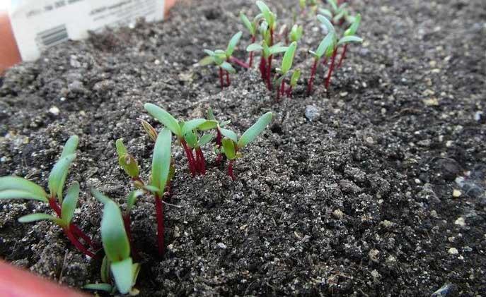 Надо ли замачивать семена свеклы перед посадкой в открытый грунт