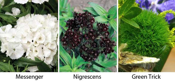 разновидности Dianthus barbatus