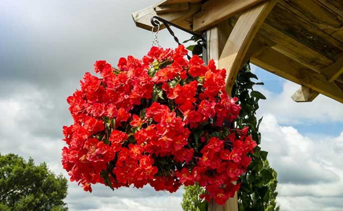 ампельная Begonia