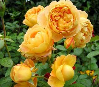какими бывают розы названия и фото