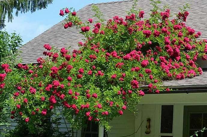 плетистые розоцветные