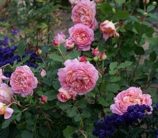 как покупать розы для посадки