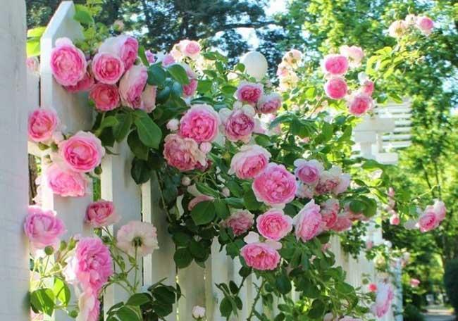 розы для дачи