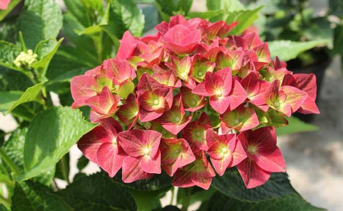 гортензия виды и сорта для российских садов