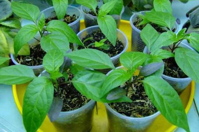 как правильно посадить перцы на рассаду