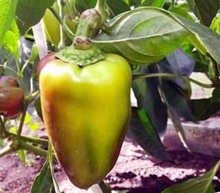 сладкий перец выращивание и уход в теплице и открытом грунте