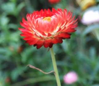 цветок бессмертник