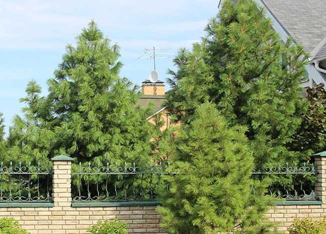 лесные деревья на даче